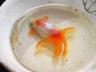 Japanese Goldfish Art