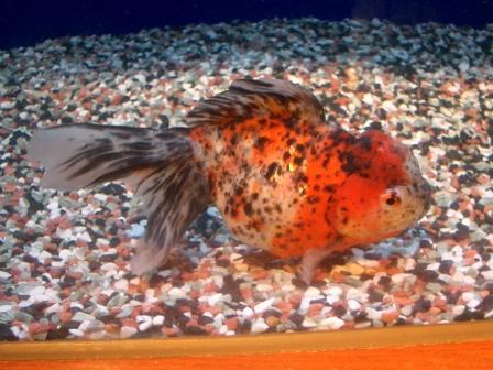 Calico Oranda -Japanese Goldfish Catalog-
