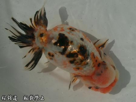Calico Goldfish | Calico Ranchu Japanese Goldfish Catalog